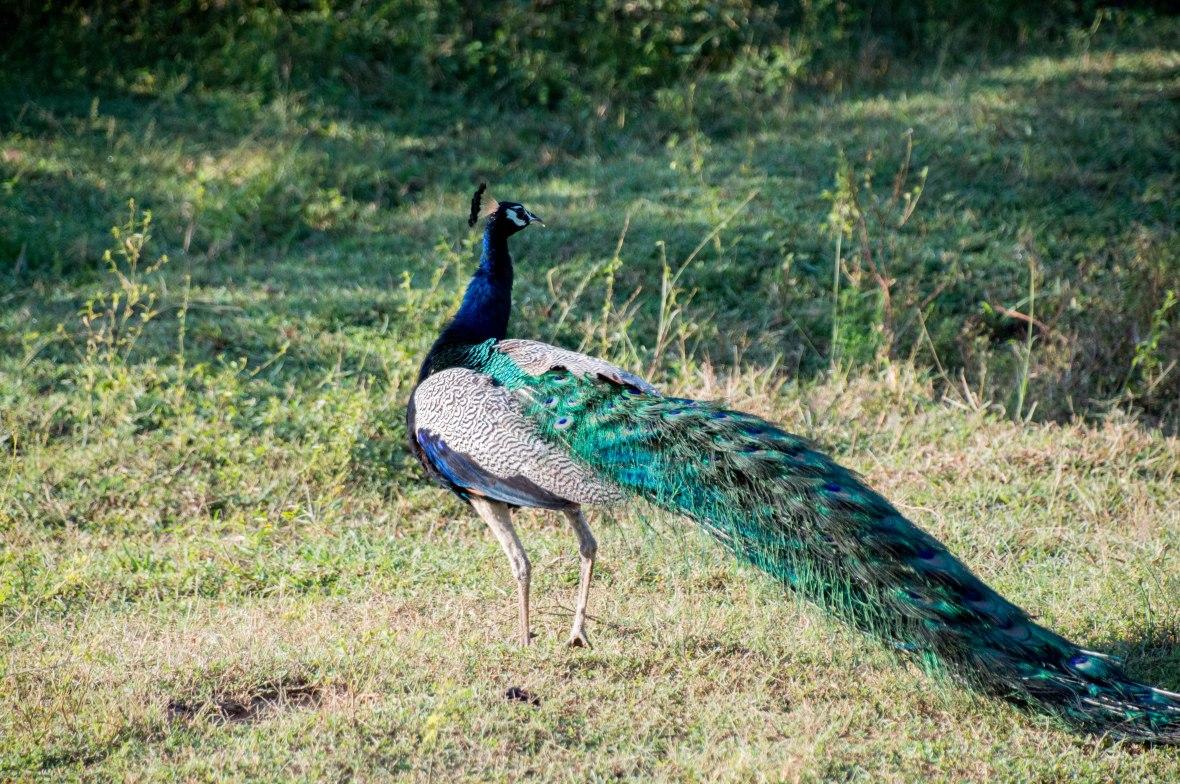 Peacock, Safari, Udawalawe, Sri Lanka