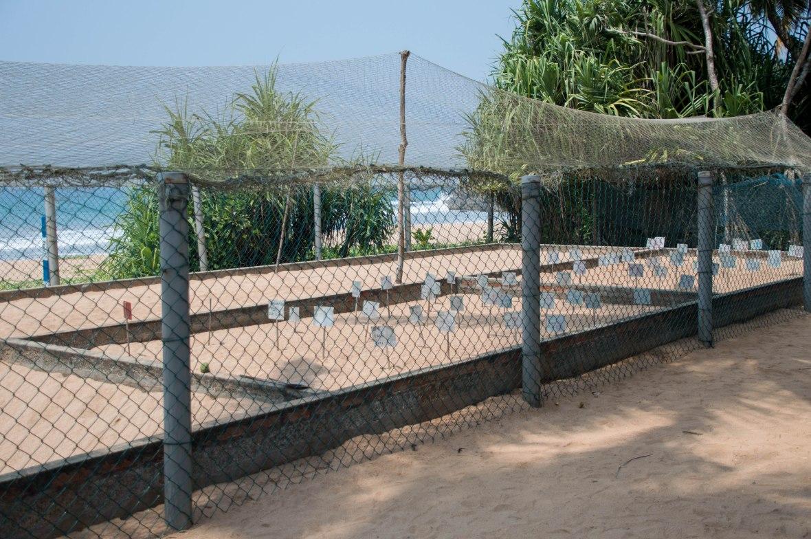 Turtle Hatchery, Kosgoda, Sri Lanka
