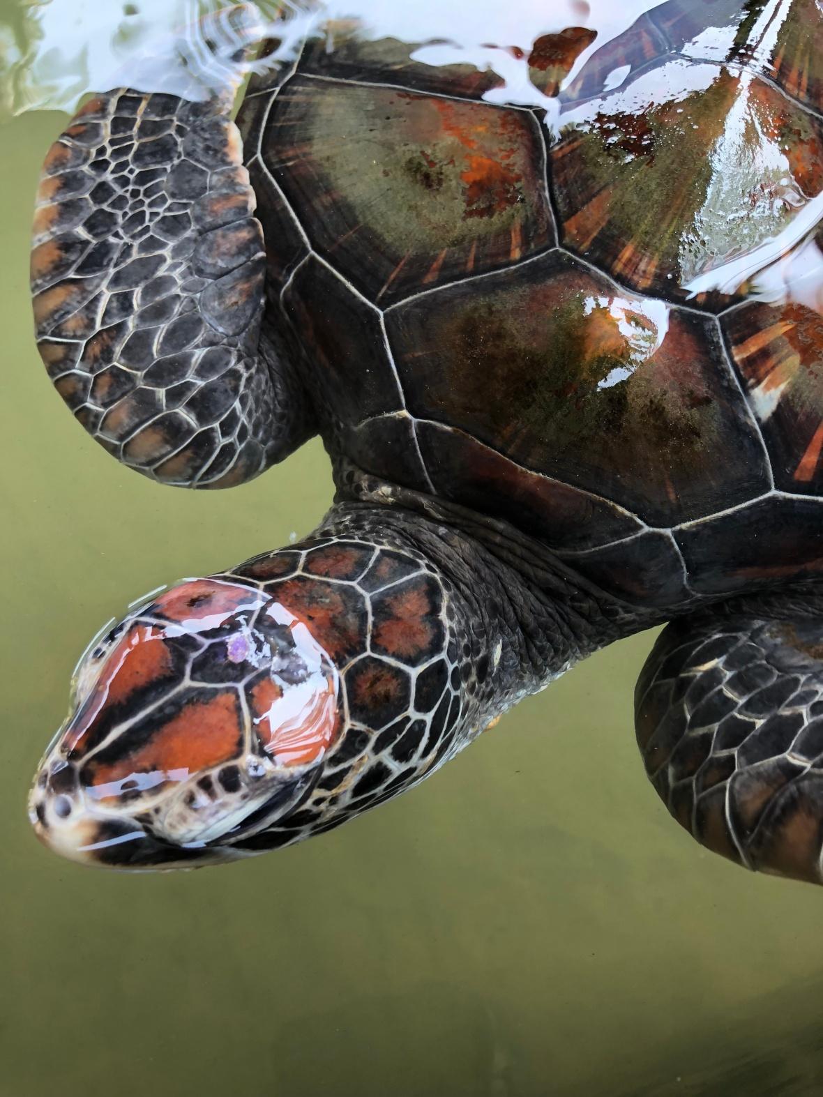 Turtle, Kosgoda Sea Turtle Conservation Project, Sri Lanka