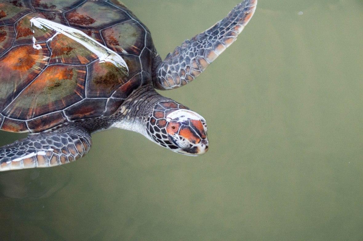 Turtles, Kosgoda Sea Turtle Conservation Project, Sri Lanka