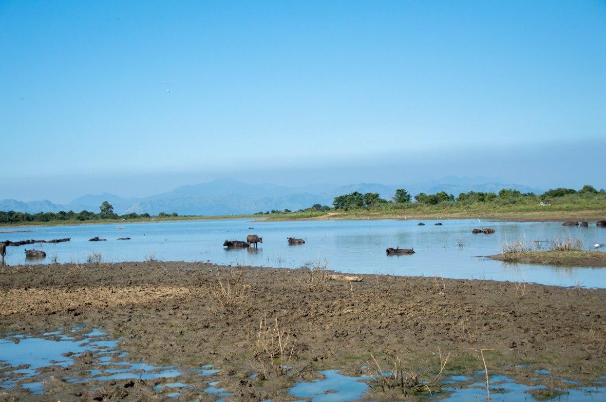 Water Buffalo, Safari, Udawalawe, Sri Lanka