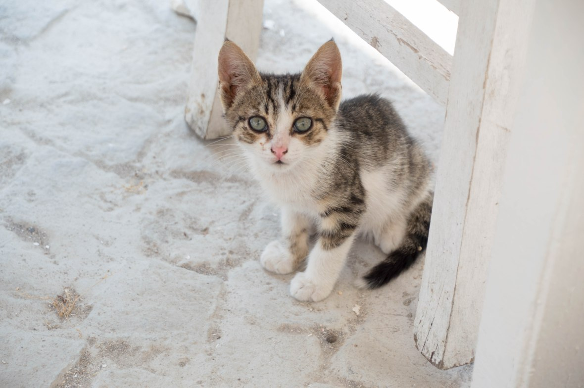 Kitten, Kabak Çiçeği, Alaçatı, Turkey